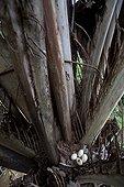 Oeufs de Pénélope Tacouhou dans un nid Espirito Santo Brésil