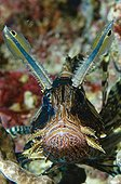 Zebra turkeyfish on reef Comoros