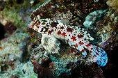 Starry Dragonet on reef Comoros