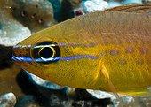 Short-tooth cardinal on reef Comoros