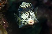 Spotted trunkfish on reef Guajimico Cuba
