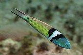 Bluehead Wrasse on the reef Guajimico Cuba