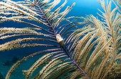 Flamingo Tongue Snail on Feather Sea Fan Guajimico Cuba