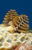 Christmas Tree Worm on Coral reef Guajimico Cuba
