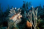 Devil firefish on reef Guajimico Cuba ; The lionfish is an invasive species in the Caribbean.