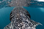 Whale shark south coast of the Gulf of Tadjourah Djibouti ; Every year from November to February, dozens of young whale sharks come to goberger plankton on some sites.