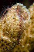 Brittle star in a fluorescent tube sponge Dominica