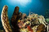 Spider sharp nose in a tubular sponge Dominica island