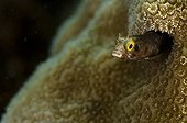 Spinyhead blenny in the coral reef island of Dominica