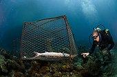 Diver and fish caught in a trap Island of Dominica ; Douglas Bay