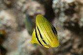 Juvenile Desjardin's sailfin tang Red Sea Egypt ; Internship fishwatching