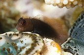 Filamentous Blenny in the reef Egypt Red Sea  ; Internship fishwatching