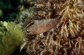 Cheeklined Wrasse juvenile Egypt Red Sea  ; Internship fishwatching
