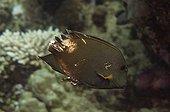 Surgeonfish striated injured Red Sea Egypt ; Internship fishwatching