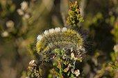 Dark Tussock caterpillar on Heath Melby Denmark