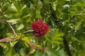 Bedegar Gall Wasp on Rose Denmark