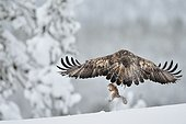 Golden eagle catching a squirrel Kuusamo Finland