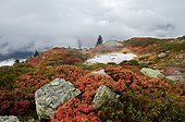 Rhododendrons and blueberries over the valley Doron Alps ; Massive Beaufortin