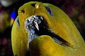 Murène verte Îles Turques-et-Caïques Mer des Caraïbes