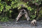 Babirusas fighting at salt-lick of Nantu Forest Sulawesi