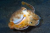 Coconut Octopus on the sand Lembeh Strait Indonesia