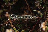 Oak Eggar caterpillar Melby Overdrev Denmark