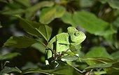 Chameleon ; Yemen Chameleon (Chamaeleo calyptratus), native to Yemen, Saudi Arabia