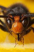 Portrait of Asian hornet eating a fruit France