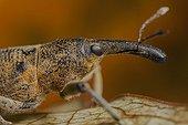 Portrait of Snout Beetle France