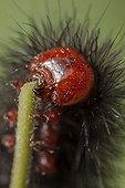 Portrait of Glanville fritillary caterpillar France