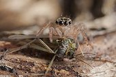 Jumping Spider eating a Chironomus France
