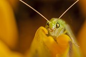 Green lacewing on a yellow flower France