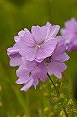 Musk-mallow flowers Himmelev Skov Denmark