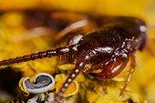 Brown centipede on Lichen France