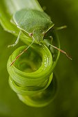 Green stink bug on a vegetal maelstrom France