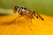 Mediterranean fruit fly cleaning itself on Orange after rain