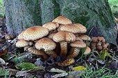 Shaggy scalycaps in undergrowth
