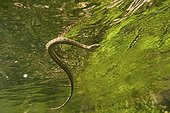 Viperine snake in a river France  ; Resurgence Gardon