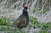 Melanistic domesticated breed of Common Pheasant Denmark