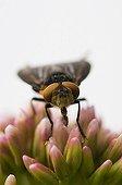 Alophore des punaises sur fleurs Danemark