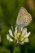Idas Blue on flower Denmark