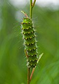 Emperor Moth caterpillar on a stem Denmark