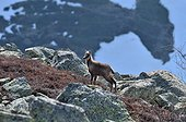 Young Chamois in the rocks and blueberry Pyrenees France