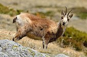 Chamois in the rocks Pyrenees France