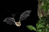 Greater Horseshoe bat flying at night Bulgaria