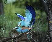 European Roller mating on a branch Bulgaria