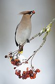 Bohemian Waxwing eating a berry from Rowan Bavaria Germany ; Winter invasion of Siberia