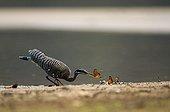 Sunbittern capturing a butterfly Pantanal Brazil