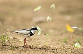 Pied Lapwing capturing a butterfly Pantanal Brazil