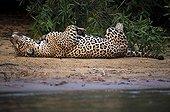 Jaguar lying on his back on the bank Pantanal Brazil